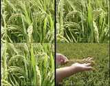 稻谷,谷穗,粮食,农业,大米,收获,水稻,视频素材