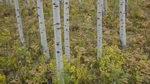 白杨树林,树林,落叶乔木,耐寒