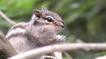 可爱的松鼠,松鼠吃坚果,松鼠