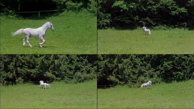 骏马白马奔驰,白马,草原