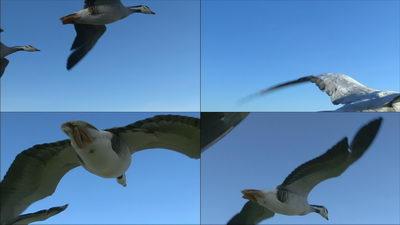 大雁,班头燕,飞翔,迁徙