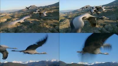 蓑羽鹤,飞翔的蓑羽鹤,鹤