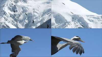 飞翔的鹤,蓑羽鹤,翱翔