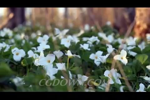 延龄草,延龄草开花