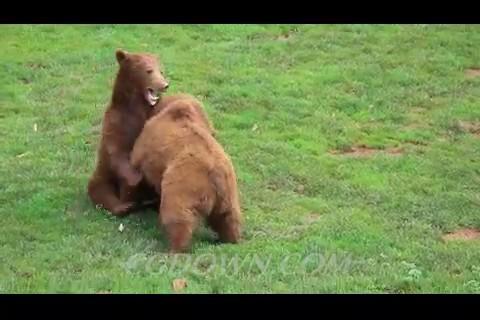 狗熊,熊,两只熊,玩耍