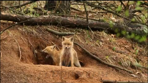 山林森林中的狐狸玩耍,狐狸