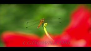 花枝上的蜻蜓,蜻蜓