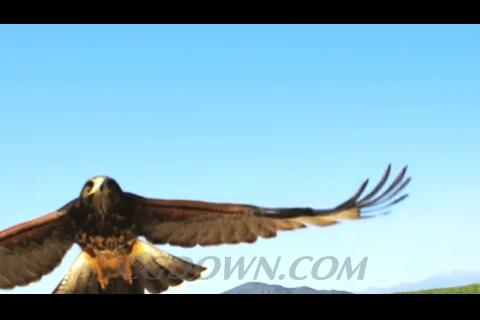 雄鹰,捕猎,鹰爪,老鹰