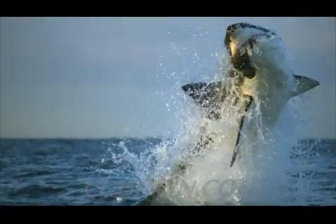 海洋中的大白鲨捕鱼,鲨鱼