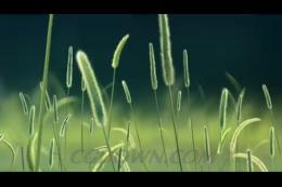 无缝循环的绿色清新狗尾巴草,绿色,狗尾巴草,无缝循环