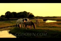 沐浴夕阳阳光下的马场骏马,白马,赛马,马