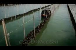 航拍海带农场,海带养殖,海带