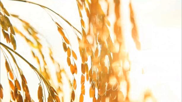 丰收的金黄色稻谷,稻子,收成