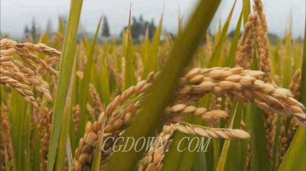 农产品丰收稻谷稻子,稻谷