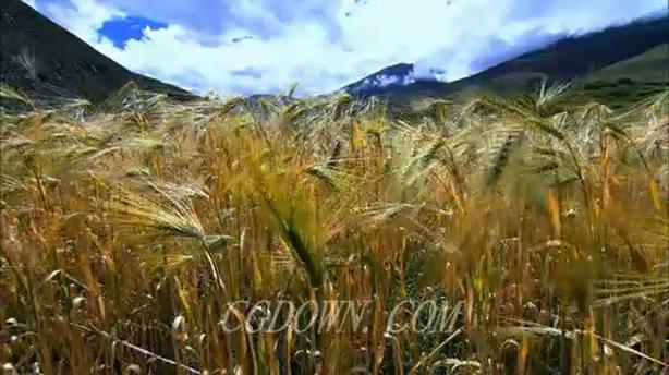 农产品丰收的麦穗麦田小麦
