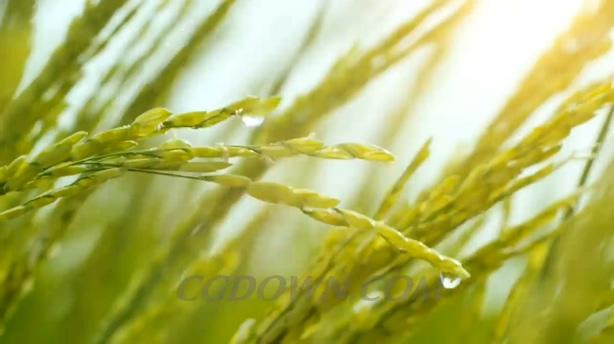 丰收的大米稻米稻田香喷喷的大米
