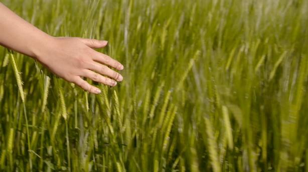 手臂掠过丰收绿油油的麦田小麦