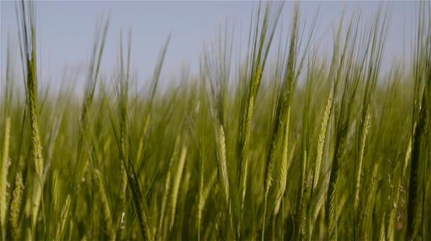 绿油油的麦田小麦特写绿色食物农产品