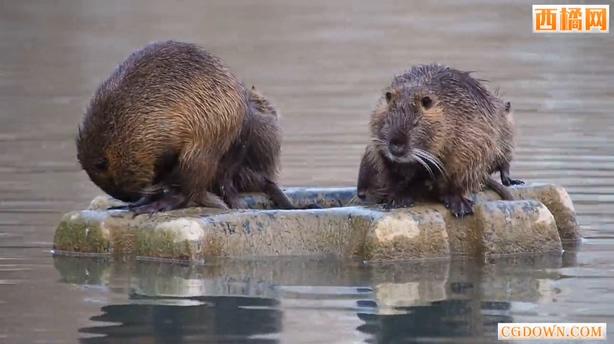 海狸鼠哺乳动物