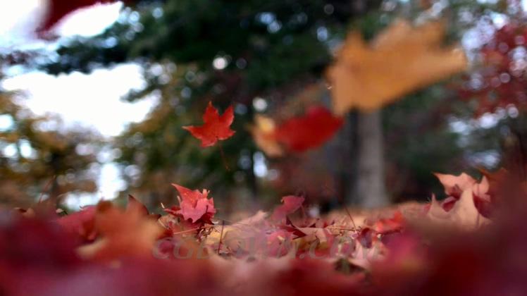 高速摄像机慢动作拍摄秋天枫叶落下唯美视频素材