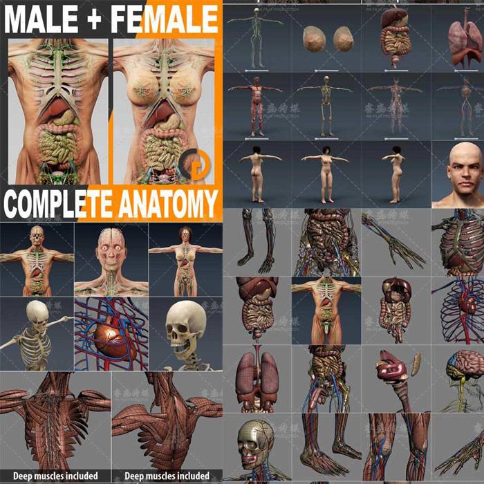 人体男性女性全套解剖3D模型全CG资源