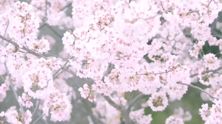 航拍高清实拍唯美日本樱花视频素材