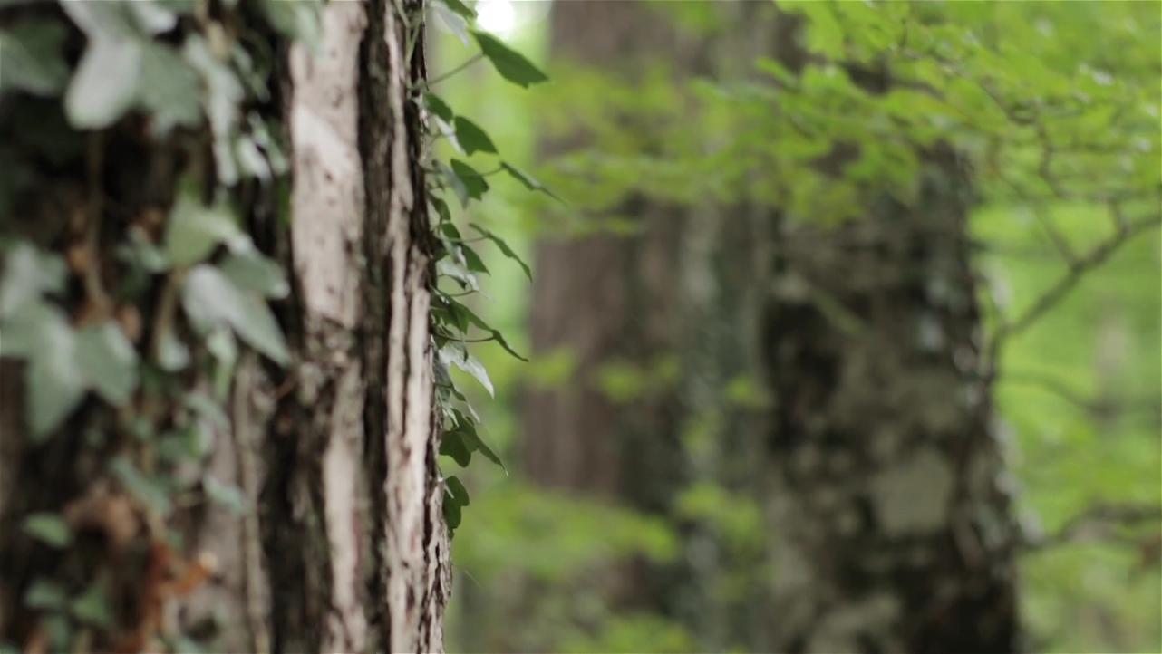 滑动,常青藤,松林,松林常青藤空镜头滑动慢移高清视频素材视频素材
