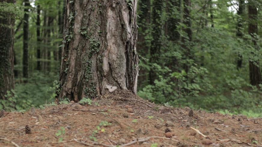 森林松林滑动镜头拍摄