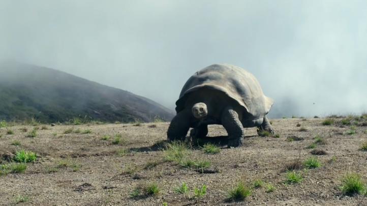 南美洲,加拉帕戈斯,乌龟,大型乌龟,巨龟,世界最大乌龟加拉帕戈斯龟高清视频素材视频素材