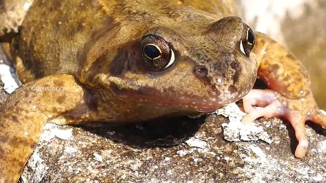 青蛙,特写,动物,两栖,青蛙镜头特写4K超清视频素材