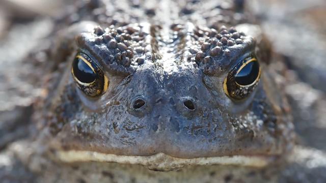 青蛙,正面,特写,超清晰青蛙正面特写实拍视频素材