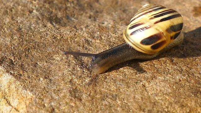 爬行,蜗牛,缓慢,坚持,努力,一只爬行的蜗牛的特写镜头视频素材