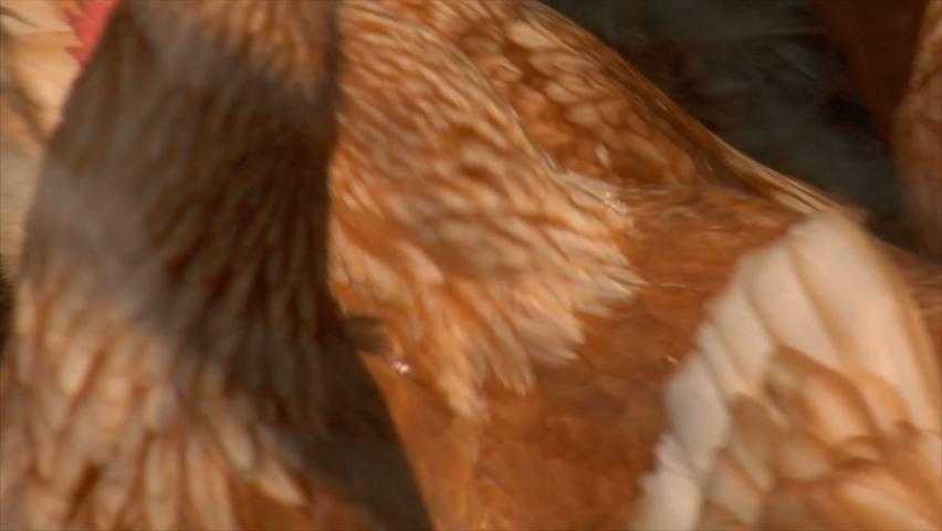 家禽,鸡,实拍一群鸡的视频视频素材