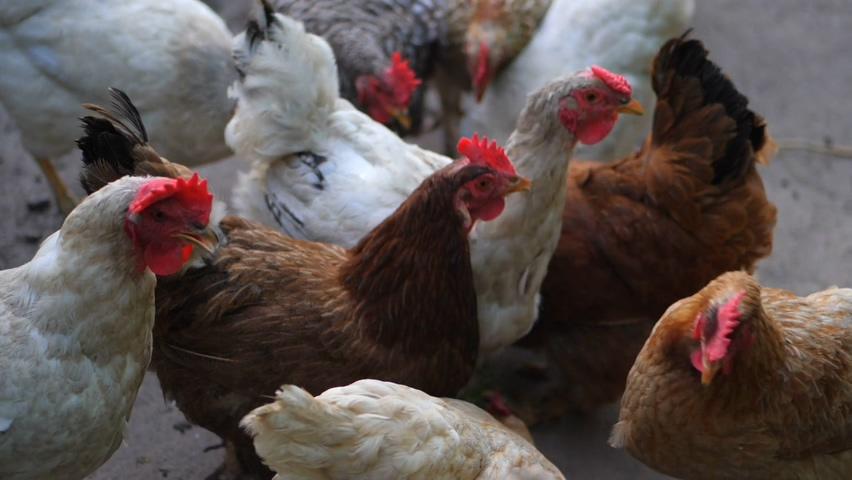 养殖,饲养,家禽,鸡舍,家禽饲养养殖说明实拍素材视频素材