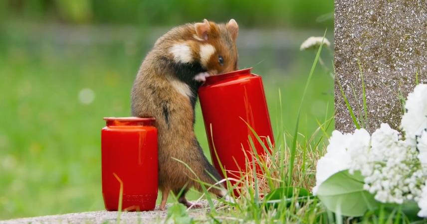 老鼠,仓鼠,田鼠,动物,鼠类,近距离实景拍摄可爱野外仓鼠视频素材视频素材