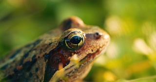 微距,青蛙,特写,微距拍摄特写镜头在树叶和树枝之间的青蛙视频素材
