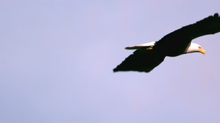 飞翔,老鹰,白头鹰,慢动作,慢动作飞翔的白头鹰特写视频素材