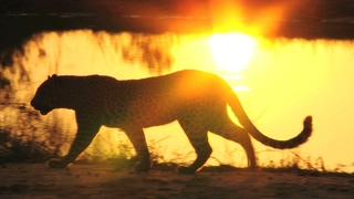 花豹,豹子,一只豹子走过剪影视频素材视频素材