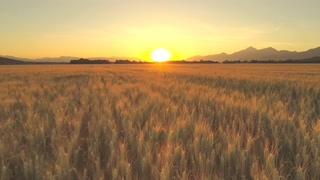 航拍,农业,农田,麦田,空中航拍日出时广阔的农业农田上的金色麦田视频素材