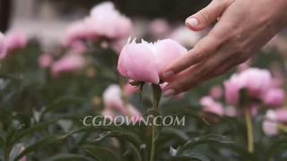 牡丹,婚礼,爱情,浪漫,轻轻拂过美丽的粉红色牡丹婚礼背景视频素材