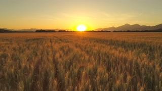 航拍,麦田,农业,农田,航拍特写日出时广阔的农业农田上的金色麦田视频素材