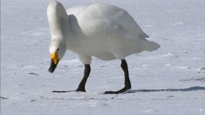 飞舞的天鹅,天鹅