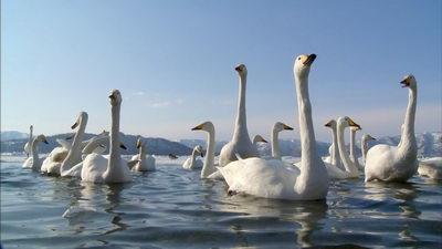 <b>优美的天鹅,天鹅湖,飞舞的天鹅,天鹅</b>