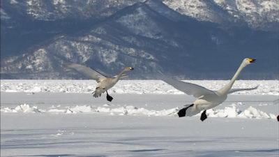 <b>飞翔,飞舞的天鹅</b>