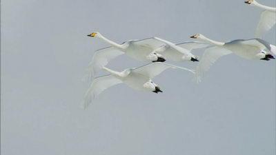 飞翔的天鹅,天鹅