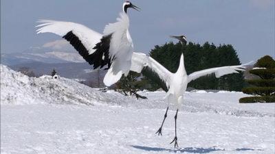 <b>丹顶鹤,飞舞的丹顶鹤</b>