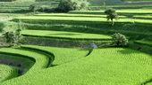 种植,农业,梯田,稻田,视频素材