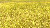 水稻,稻田,丰收,成熟,视频素材