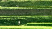 稻田,除草,绿油油,视频素材