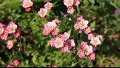粉红色的小花朵,花